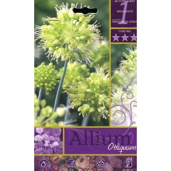 BULBS OF FLOWER ALLIUM OBLIQUUM No. 1
