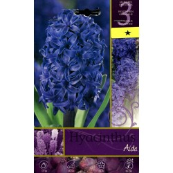 The BULBS OF the FLOWER HYACINTHUS AIDA N. 3