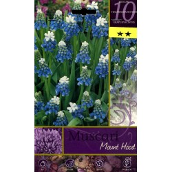 The BULBS FLOWER, MUSCARI MOUNT HOOD N. 10