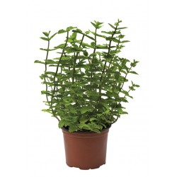 PLANT OF THE MINT AROMA IN THE JAR DIAM. 11