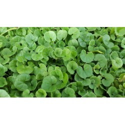 SEEDS OF DICHONDRA REPENS GRASS TURF NANO WITHOUT CUTTING GR. 100