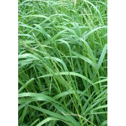 SEEDS OF MEADOW RYEGRASS...
