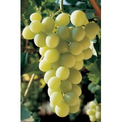 ITALIA GRAPES PLANT GRAFTED ON ROOTED CUTTING IN A POT